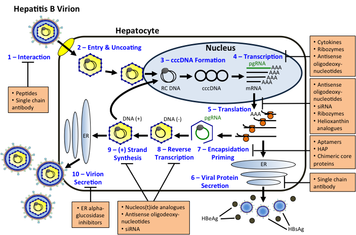 Replication Of Animal Viruses Concept Map.Hepatitis B Virus Infectious Disease And Antimicrobial Agents