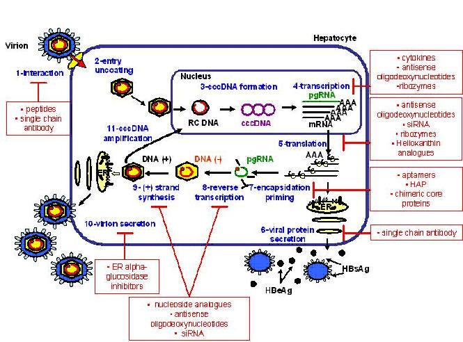 amaryl e metformina
